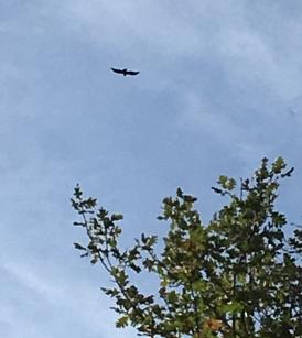 un rapace, forse un falco?